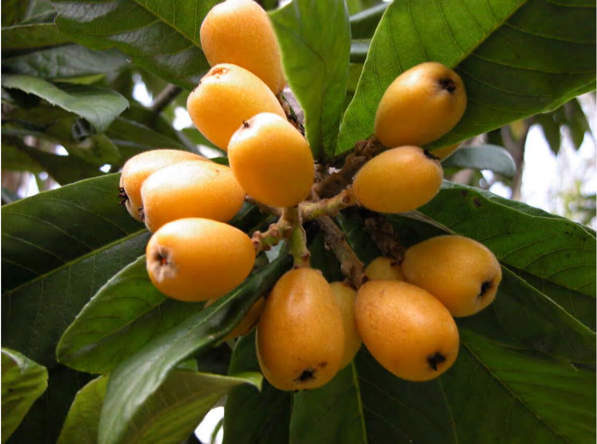 medicinal indeginous plants australia pdf